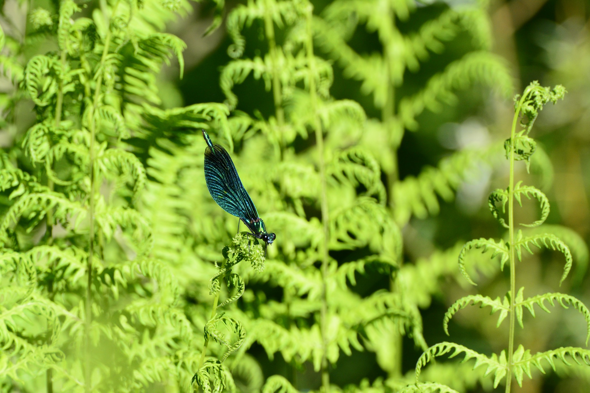 dryopteris_filix-mas plants dragonfly