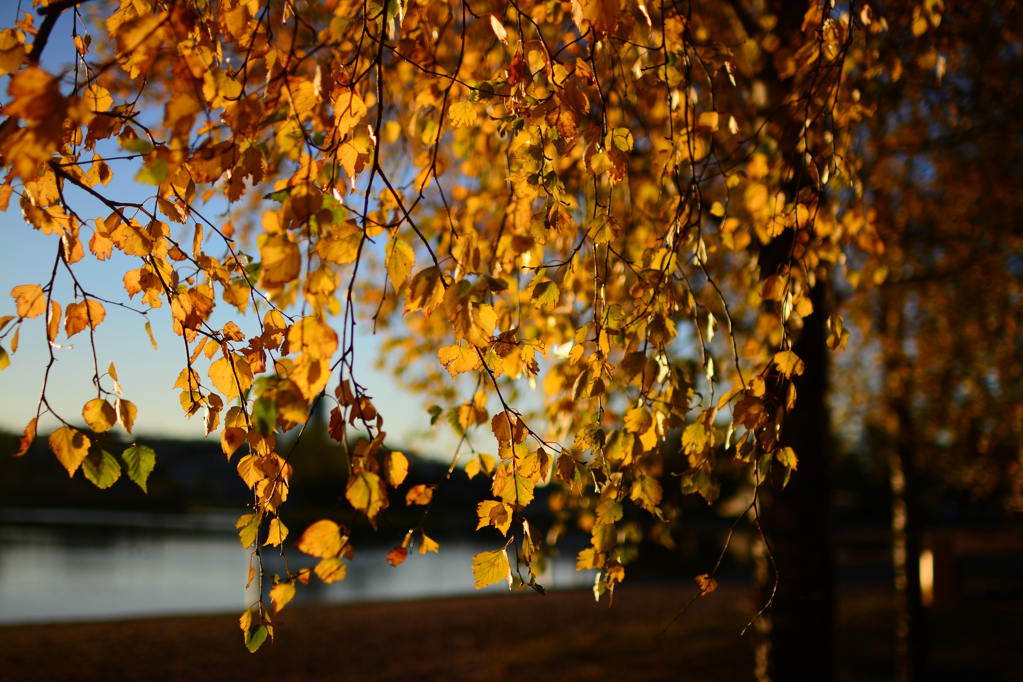 yellow leaves autumn