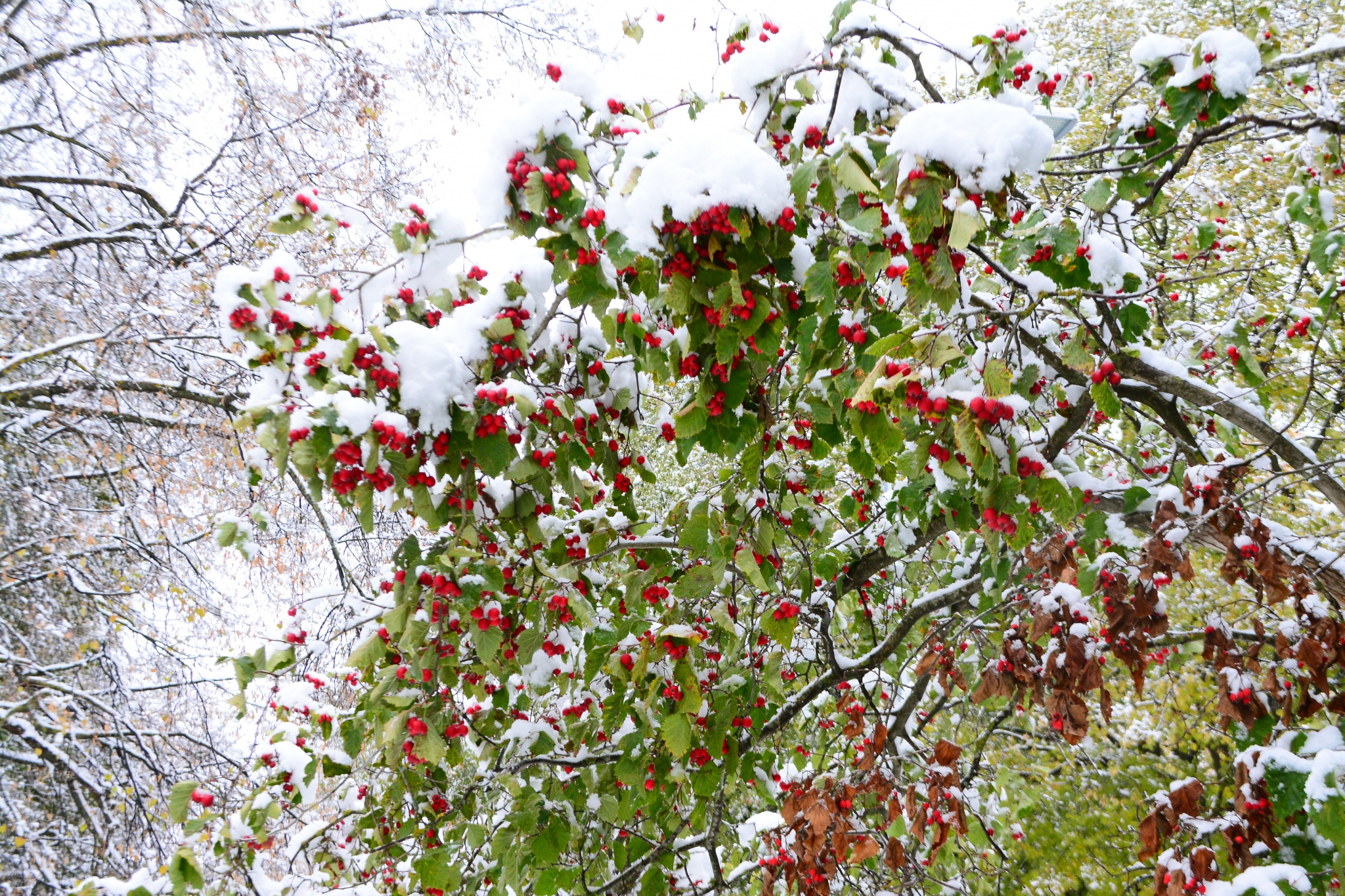 berries snow winter