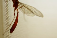 Red dragonfly dragonfly curtain insects