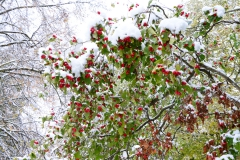 Red berries under snow berries snow winter
