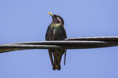 Common Starling starling birds animals
